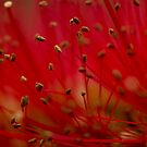 Bottle brush stamens by Andrew Jones