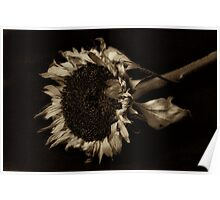 Old Wilting Sunflower Sepia toned Poster