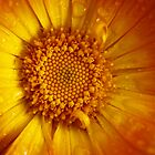 orange calendula after rain by codaimages