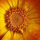 orange calendula after rain by codaimages