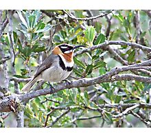 Spinebill of Foxes Lair Photographic Print
