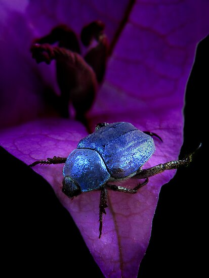 Jewel-beetle by jimmy hoffman