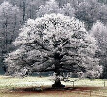 Frosted Tree by mikebov