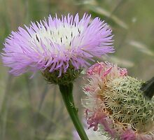 Old and New Star Thistle by Navigator