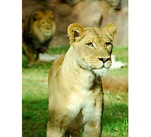The Watchful Lioness Photographic Print