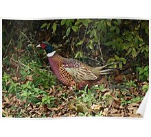 Ring-necked Pheasant-2 Poster