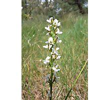 Dense Leek orchid (Prasophyllum spicatum) Photographic Print