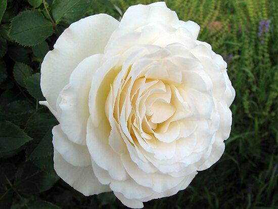 White Rose by David Shaw