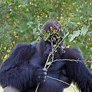 Shy Gorilla by longaray2