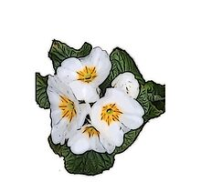 White Primrose Patch by DeneWest