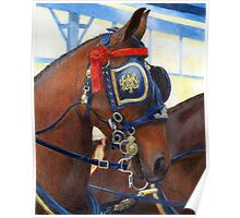 Cleveland Bay Horse In Harness Portrait Poster
