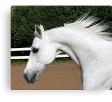 Arabian Arch Horse Portrait Canvas Print
