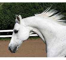 Arabian Arch Horse Portrait Photographic Print