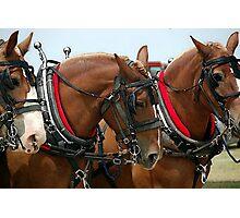 Belgian Draft Horse Group Portrait Photographic Print