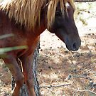 Wild Feral Horse by Sandy O'Toole