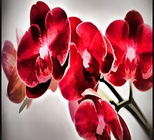 Orchids From A Friend by tvlgoddess