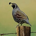 New World Quail by Jeff Powers Illustration