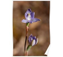 Trim Sun Orchid - Thelymitra peniculata Poster