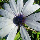 White Daisy by Peta Hurley-Hill