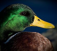 Metalic Mallard by geoff curtis