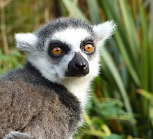 ring tailed lemur by WyeLookAtThis