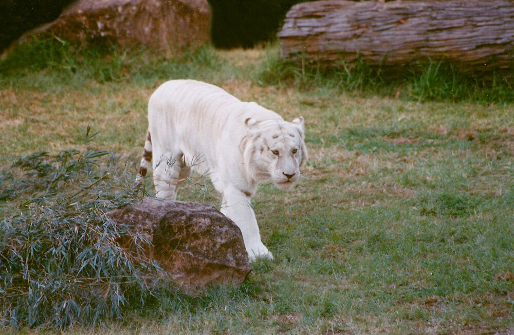 White Bengal Tiger by smallan