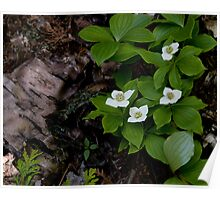 Birch and Dogwood - Lake Superior Provincial Park Poster