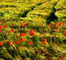 Poppy~field breeze by Steven Parker