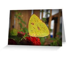 Cloudless Sulpher Butterfly Greeting Card