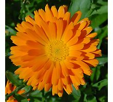 Orange Marigold Close Up With Garden Background Photographic Print