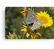 Common blue [Polyommatus icarus] Canvas Print