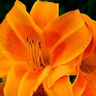 Daylily by flowers2love