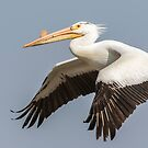 White Pelican 5-2015 by Thomas Young