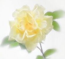 Creamy Yellow Rose - Divinity by Christopher Johnson