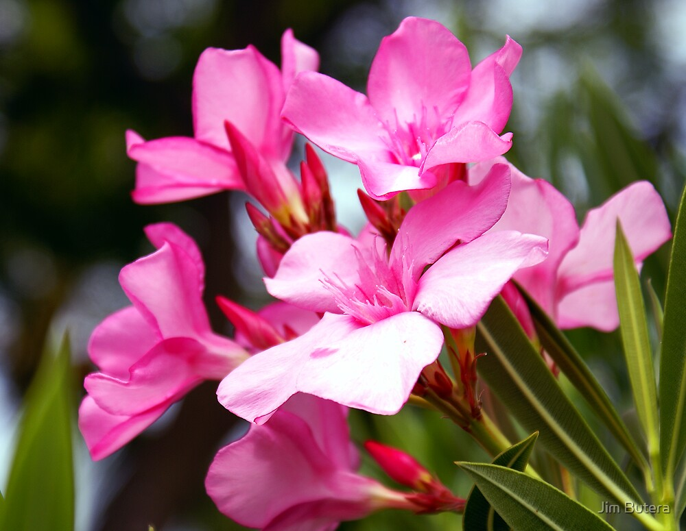 Hawaiian pink by Jim Butera