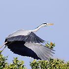 Heron take off, Parc Natural de l'Albufera, Valencia, Spain by Andrew Jones