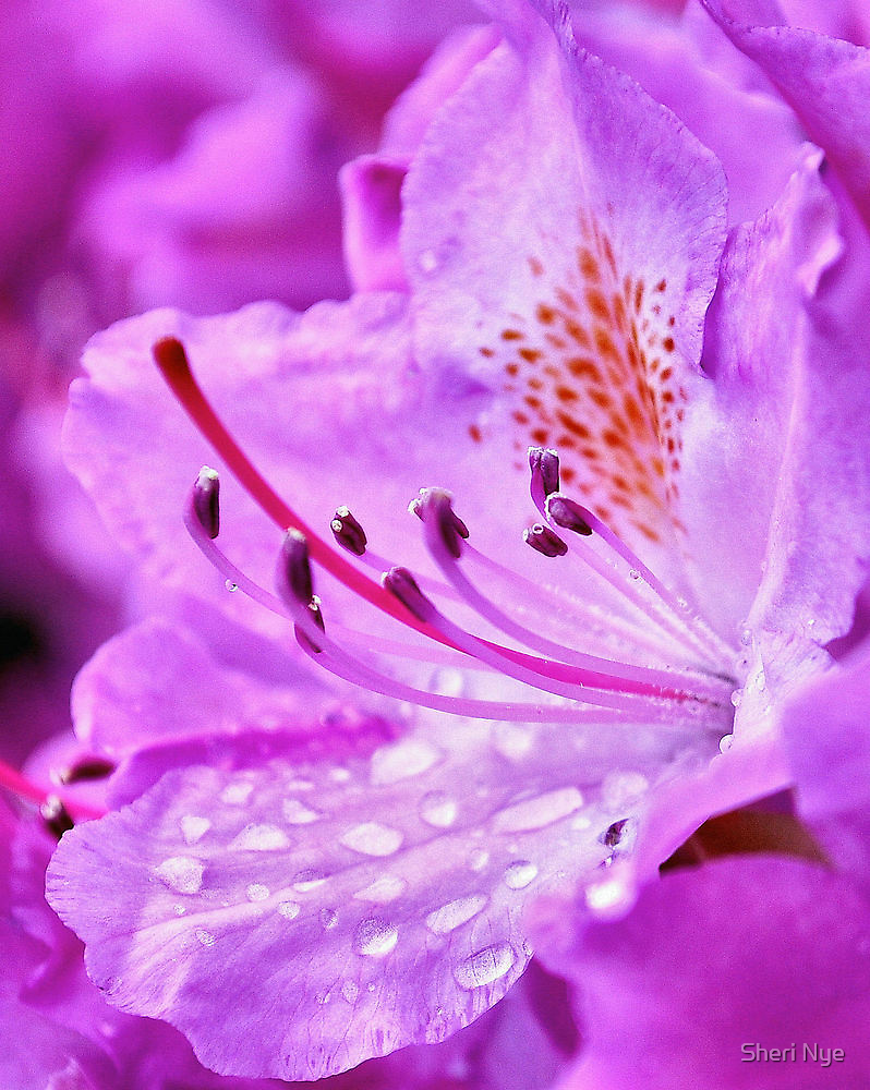 Pink Rhododendron by Sheri Nye