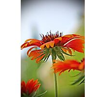 Cover me(Indian Blanket Flower) Photographic Print