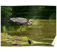 great blue heron 3  2015 Poster