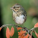 Lincoln&#x27;s Sparrow by tonybat