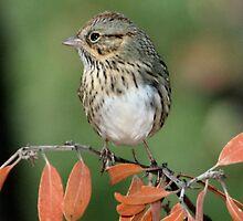 Lincoln's Sparrow by tonybat