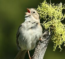 Brewer's Sparrow, adult breeding by tonybat