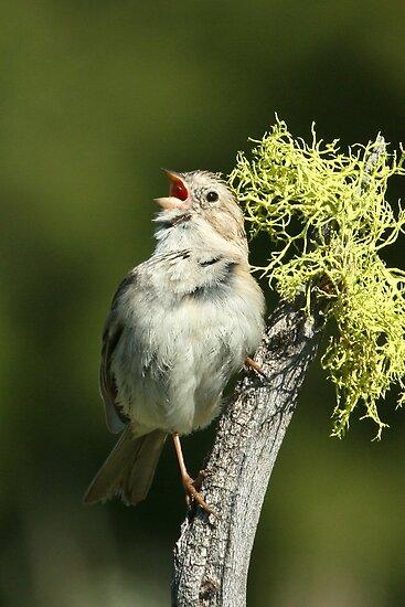 Brewer's Sparrow, adult breeding by tonybat