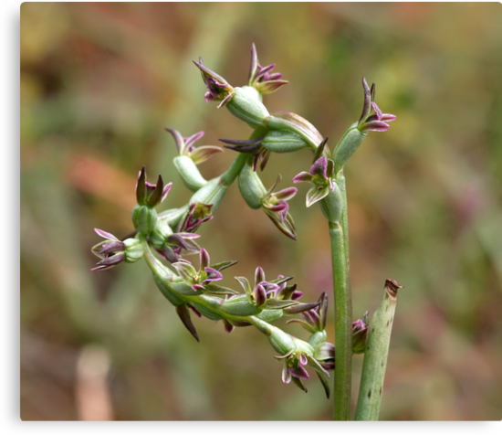 Fitzgerald's Leek-orchid by LeeoPhotography