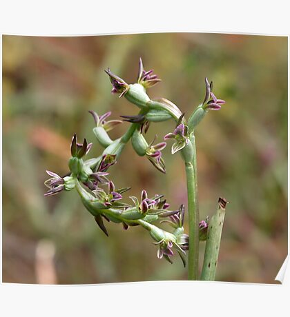 Fitzgerald's Leek-orchid Poster