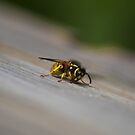 Wasp on wood by evilcat