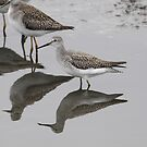Lesser Yellowlegs Sandpiper by Dennis Cheeseman