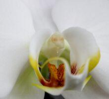 White Orchids Sticker