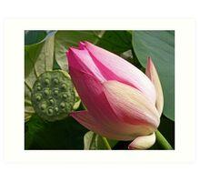 Lotus and seed pod. Art Print
