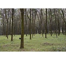 Rubber Tree Plantation Photographic Print